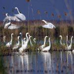 """""""Delta dintre Crişuri"""", parcul Natural Cefa ce adăposteşte specii unice de păsări în ţară, şi-a găsit administrator"""