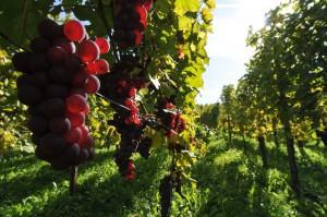 Weinreben bei Freiburg