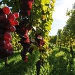 România, pe locul 12 la nivel mondial la producţia de vin