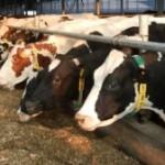 ANSVSA: România nu mai poate vinde bovine şi ovine vii către ţările UE, decât pentru sacrificare imediată