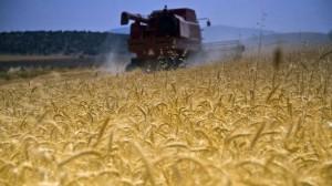 MADR: Producţiile de porumb, floarea-soarelui şi rapiţă ar putea scădea cu până la 40% şi vor deveni neprofitabile începând de anul viitor