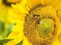 Albinele – pe lângă a da miere – pot rezolva calcule matematice simple