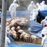 Carnea de Porc devine mai scumpă cu 70% (pe contracte Futures) din cauza gripei porcine africane din China