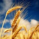 Premierul anunţă că România a obţinut, pentru prima dată, peste 10,2 milioane de tone grâu la recolta de vară