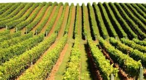 Romania in lista marilor producatori mondiali de VIN – productia mondiala a avansat cu 12% in 2018